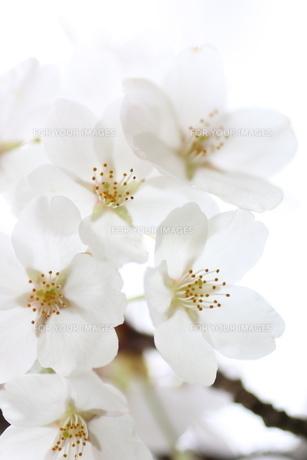 ソメイヨシノの写真素材 [FYI01232742]