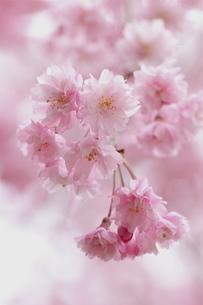しだれ桜の写真素材 [FYI01232746]