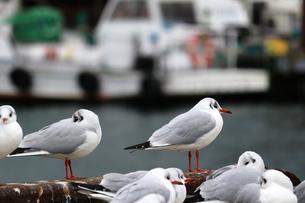 冬の港のカモメの写真素材 [FYI01232821]