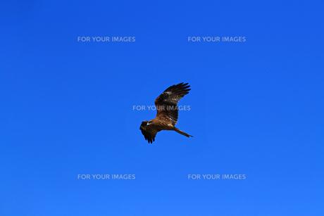 澄んだ青い空を飛んでいる鳥の写真素材 [FYI01232854]