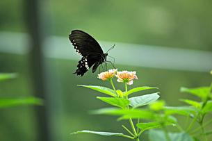 花の蜜を吸うクロアゲハの写真素材 [FYI01232950]