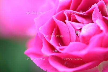 薔薇のクローズアップの写真素材 [FYI01232963]