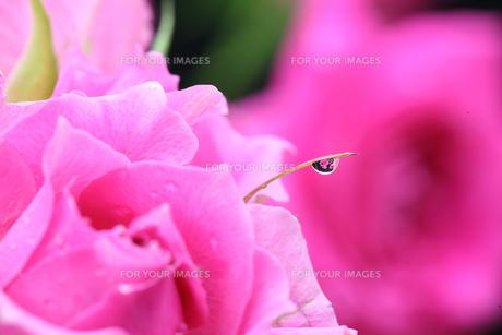 薔薇のクローズアップの写真素材 [FYI01232964]