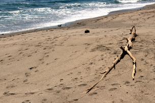 砂浜に打ち上げられた枯れ木の写真素材 [FYI01233029]