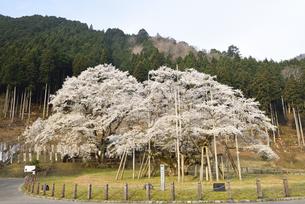 淡墨桜の写真素材 [FYI01233057]