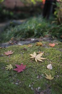 楓の葉の写真素材 [FYI01233104]