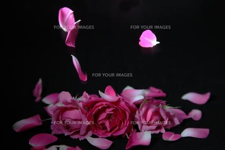 薔薇の花びらの写真素材 [FYI01233111]