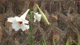 石垣に咲く高砂百合 Lilium formosanumの写真素材 [FYI01233123]