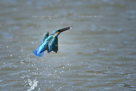 カワセミの捕食の写真素材 [FYI01233248]