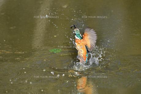 カワセミの捕食の写真素材 [FYI01233249]