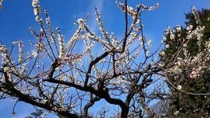 梅の写真素材 [FYI01233259]