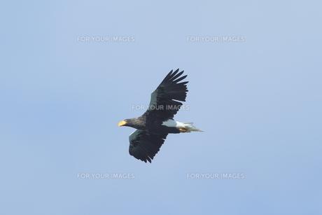 大鷲の写真素材 [FYI01233331]
