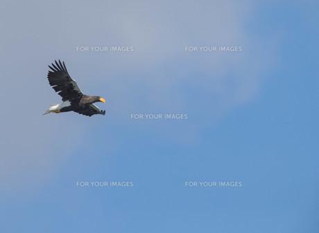 大鷲の写真素材 [FYI01233333]
