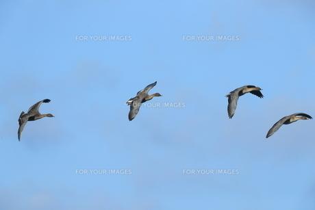 ヒシクイの飛翔の写真素材 [FYI01233363]