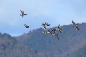 ヒシクイの飛翔の写真素材 [FYI01233365]