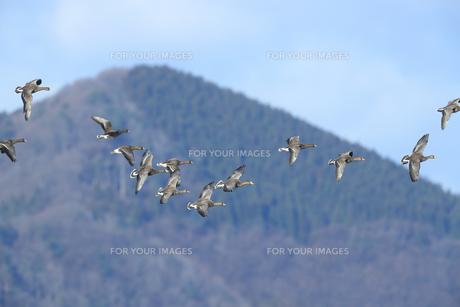 ヒシクイの飛翔の写真素材 [FYI01233366]