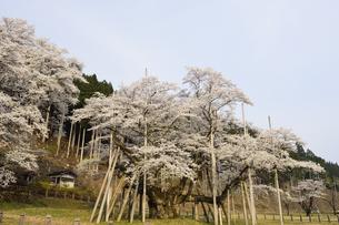 淡墨桜の写真素材 [FYI01233410]