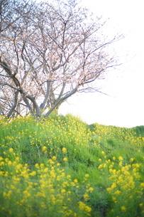 春のコラボレーションの写真素材 [FYI01233473]