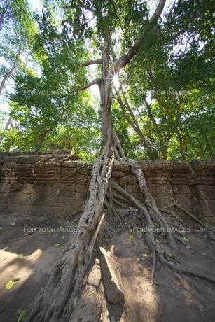カンボジアのタ・プローム遺跡の巨木の写真素材 [FYI01233641]