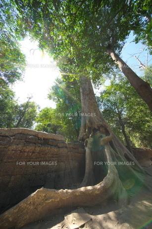 カンボジアのタ・プローム遺跡の巨木の写真素材 [FYI01233642]
