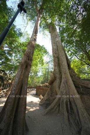 カンボジアのタ・プローム遺跡の巨木の写真素材 [FYI01233643]