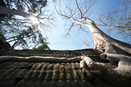 カンボジアのタ・プローム遺跡の巨木の写真素材 [FYI01233645]