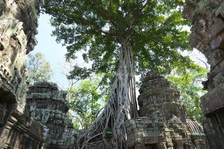 カンボジアのタ・プローム遺跡の巨木の写真素材 [FYI01233647]