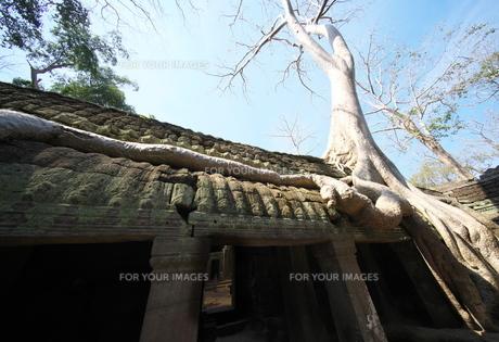 カンボジアのタ・プローム遺跡の巨木の写真素材 [FYI01233648]