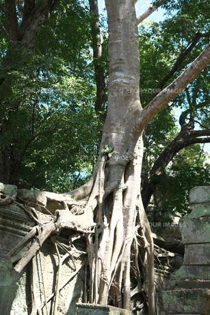 カンボジアのタ・プローム遺跡の巨木の写真素材 [FYI01233649]