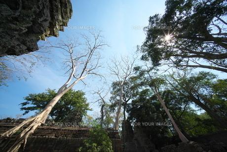 カンボジアのタ・プローム遺跡の巨木の写真素材 [FYI01233650]