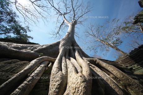 カンボジアのタ・プローム遺跡の巨木の写真素材 [FYI01233651]