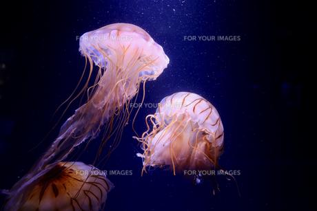 アカクラゲの写真素材 [FYI01233889]