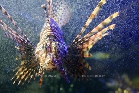 ハナミノカサゴの写真素材 [FYI01233906]