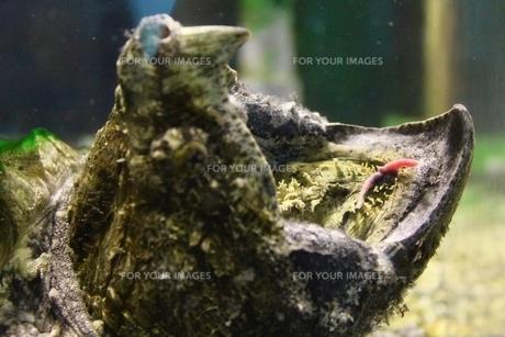 ワニガメの写真素材 [FYI01234194]
