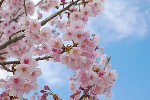 枝に咲くピンクの桜の花の写真素材 [FYI01234315]