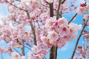 枝に咲くピンクの桜の花の写真素材 [FYI01234316]