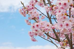 枝に咲くピンクの桜の花の写真素材 [FYI01234317]