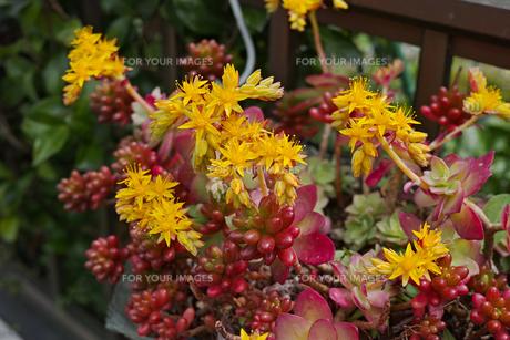 黄色い花をつけた多肉植物の写真素材 [FYI01234318]