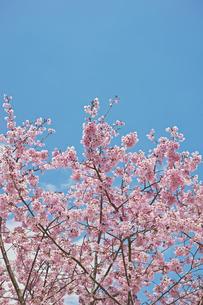 ピンクの桜の花と青空 縦長の写真素材 [FYI01234319]