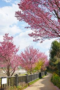 ピンクの桜が咲いている遊歩道の写真素材 [FYI01234322]