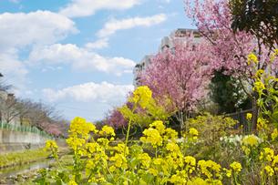 黄色い菜の花とピンクの桜が咲いている春の河川敷の風景の写真素材 [FYI01234323]