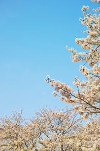 桜の花と青空 縦長の写真素材 [FYI01234326]