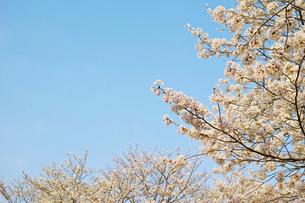 桜の花と青空 横長の写真素材 [FYI01234327]