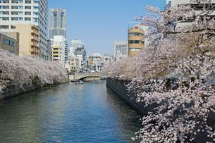 横浜の大岡川の桜の写真素材 [FYI01234329]