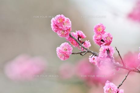 紅梅の写真素材 [FYI01234351]