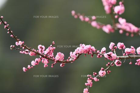 紅梅の写真素材 [FYI01234353]