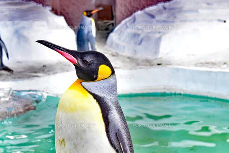 ペンギンの写真素材 [FYI01234356]