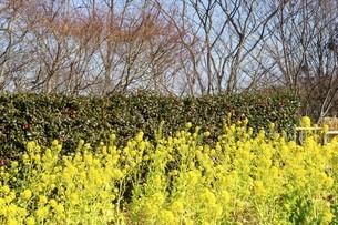 空と木と菜の花の写真素材 [FYI01234433]