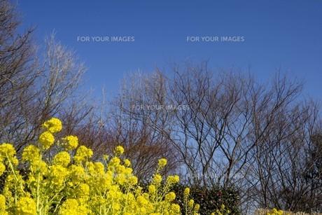空と木と菜の花の写真素材 [FYI01234434]