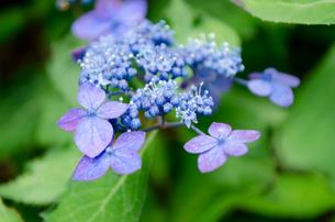あじさいの花の写真素材 [FYI01234473]